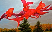 Canna Lilies Framed Prints - Canopy of Color Framed Print by Randy Rosenberger