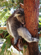 Koala Metal Prints - Cant Be Bothered Metal Print by Kelly Jones