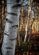 Birch Bark Tree Prints - Cant See The Forest For The Tree Print by Odd Jeppesen