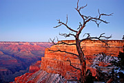 Canyon Posters - Canyon Tree Poster by Peter Tellone