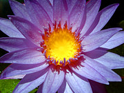 Cape Lily Photos - Cape Blue Water Lily by Serena Bowles