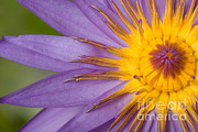 Cape Lily Photos - Cape Blue Waterlily Nymphaea Capensis by Ted Kinsman