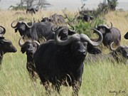 Cape Buffalo Paintings - Cape Buffalo Herd  Black Death by Bradley Litz