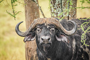Cape Buffalo Prints - Cape Buffalo Print by Photo by Diane J Geddes, Winnipeg, Canada