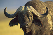 Frontal Metal Prints - Cape Buffalo Portrait Kenya Metal Print by Tim Fitzharris