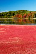 Cranberries Framed Prints - Cape Cod Cranberry Bog Framed Print by Matt Suess