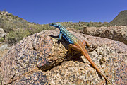 Featured Acrylic Prints - Cape Flat Lizard  South Africa Acrylic Print by Piotr Naskrecki