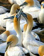 Bonding Framed Prints - Cape Gannet Courtship Framed Print by Bruce J Robinson