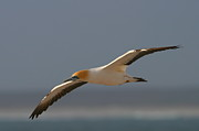 Sea Birds Posters - Cape Gannet In Flight Poster by Bruce J Robinson