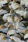 Bonding Framed Prints - Cape Gannets Framed Print by Bruce J Robinson
