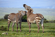 Sparring Prints - Cape Mountain Zebra Stallions Sparring Print by Peter Chadwick