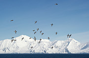 Flock Of Bird Art - Cape Petrel Flying In Group by Daisy Gilardini