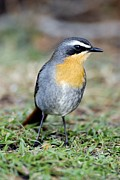 Western Cape Prints - Cape Robin-chat Print by Peter Chadwick
