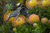 Fynbos Prints - Cape Sugarbird On A Flower Print by Bob Gibbons