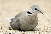 Northern Africa Prints - Cape Turtle Dove Print by Peter Chadwick