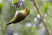 Western Cape Prints - Cape White-eye Print by Peter Chadwick
