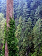 Fir Trees Posters - Capilano Canyon Ivy Poster by Will Borden