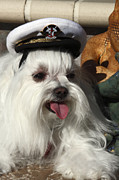 Maltese Dog Posters - Captain Maltese Dog and Tongue Poster by Sally Weigand