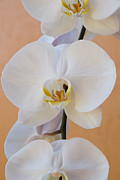 Orchids Art Print Framed Prints - Captivated Orchid  Framed Print by Carmen Del Valle