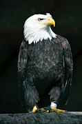 Looking Sideways Prints - Captive Bald Eagle Print by Peter Wey