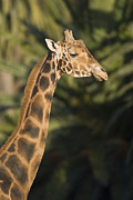 Captive Framed Prints - Captive Baringo Giraffe Giraffa Framed Print by Rich Reid