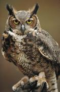 Looking At Camera Art - Captive Great Horned Owl, Bubo by Raymond Gehman