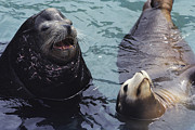 Aquariums Photos - Captive Seals In Their Watery Home by Medford Taylor