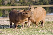 South American Photos - Capybara By A Lake by Tony Camacho