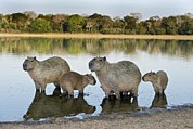 South American Photos - Capybara Family by Tony Camacho