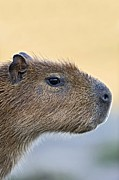 South American Photos - Capybara by Tony Camacho