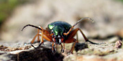 Beatle Photos - Carabus auronitens by Jana Goode