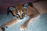 National Museum Of America History Framed Prints - Caracal Cat Framed Print by LeeAnn McLaneGoetz McLaneGoetzStudioLLCcom