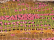 False-coloured Posters - Cardiac Muscle, Sem Poster by Steve Gschmeissner