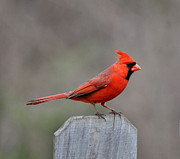 Wildlife - Cardinal 1 by Todd Hostetter