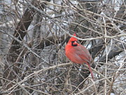 Winter Trees Metal Prints - Cardinal 1 Metal Print by Vijay Sharon Govender