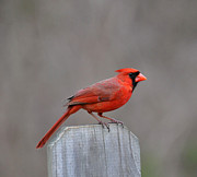 Wildlife - Cardinal 2 by Todd Hostetter