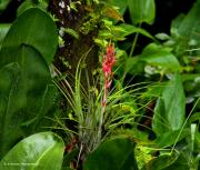 Epiphyte Art - Cardinal Airplant by Barbara Bowen