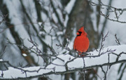 Birds Posters - Cardinal and snow Poster by Michael Peychich