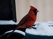 New England Snow Scene Metal Prints - Cardinal Awaits Metal Print by Barry Doherty
