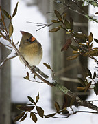 Winter Photographs Prints - Cardinal Cute Print by Rob Travis