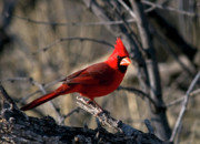 Arizonia Photos - Cardinal by Earl Nelson