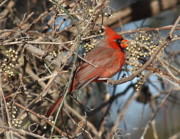 Bird Watcher Posters - Cardinal Eating Berries Poster by Robert Frederick