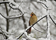 Redbird Prints - Cardinal Female 3652 Print by Michael Peychich