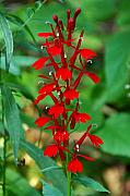Lobelia Framed Prints - Cardinal Flower Framed Print by Alan Lenk