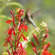 Reflections Of Infinity Llc Posters - Cardinal Flower and Hummingbird 1 Poster by Robert E Alter Reflections of Infinity