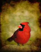 Cardinal Photo Framed Prints - Cardinal I Framed Print by Jai Johnson