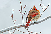 Male Northern Cardinal Framed Prints - Cardinal i the snow  Framed Print by Emmanuel Panagiotakis