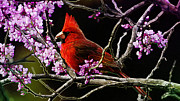 Red Cardinal Prints - Cardinal in Bloom Print by Bill Tiepelman