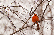 Christine Amstutz - Cardinal in its Red...