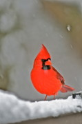 Red Bird In Snow Prints - Cardinal in Snow by Mother Nature Print by Maggie Vlazny